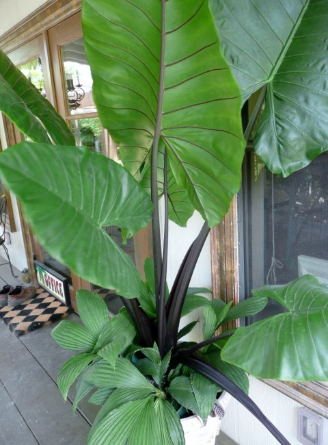 Alocasia Black Stem (2)