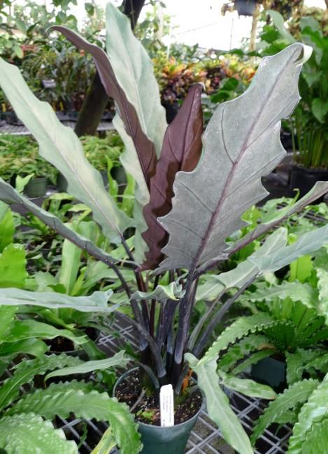 Alocasia lauterbachiana 1g