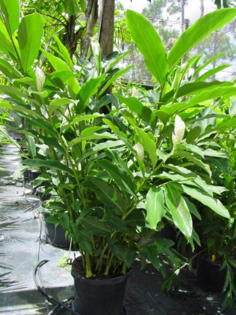 Alpinia purpurata Purest White 15G