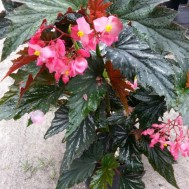 Begonia 'Angel Wing Lana'