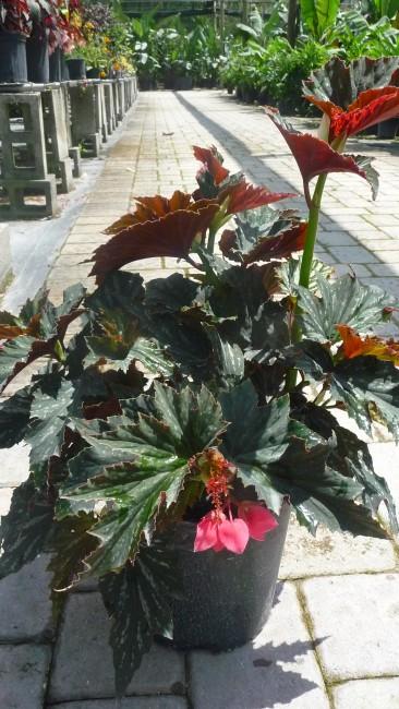 Begonia 'Angelwing Lana'