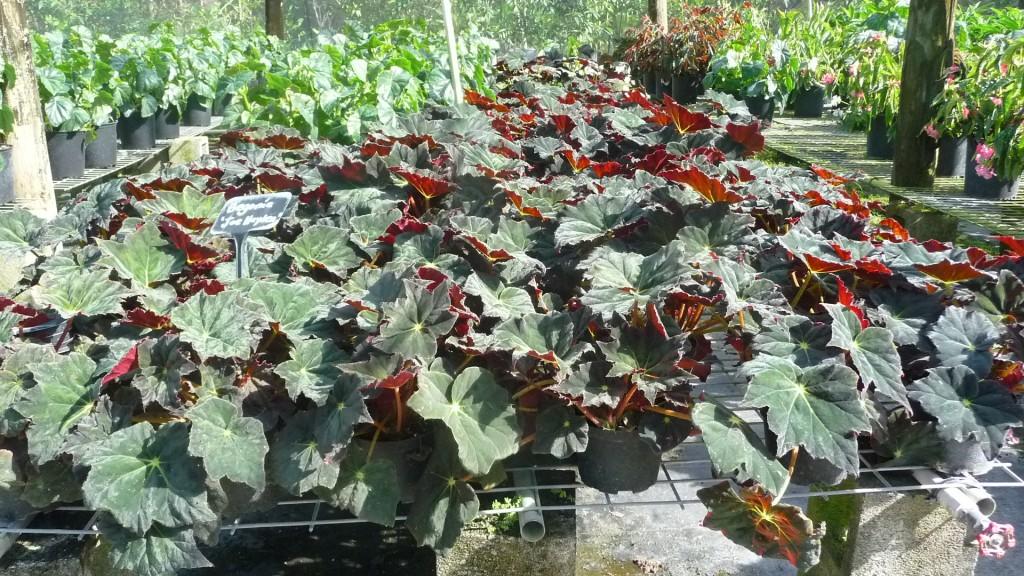 Begonia Joe Hayden 1g (1)