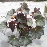 Begonia 'Joe Hayden'