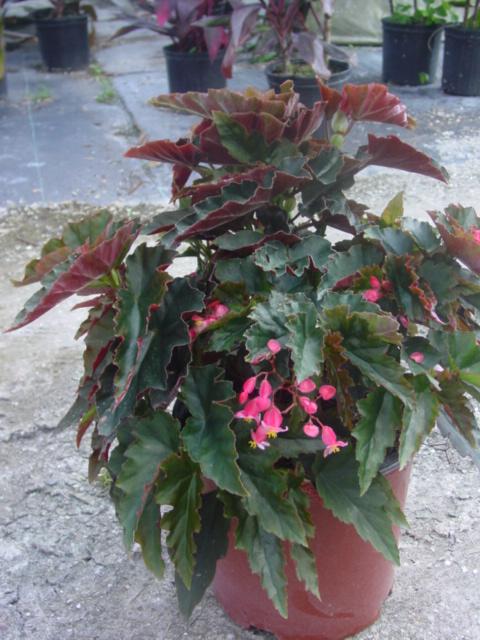 Begonia 'Pink Torch'