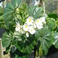 Begonia odorata 'Alba'
