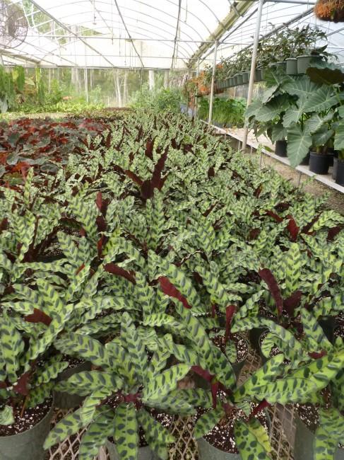 Calathea lancifolia 1g (2)