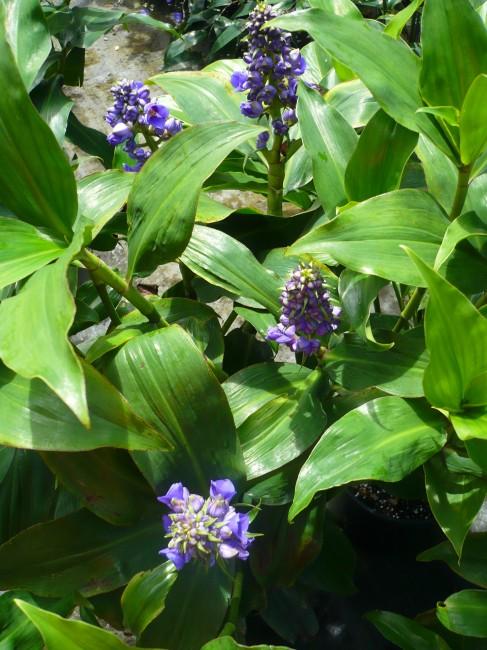 Dichorisandra Blue ginger