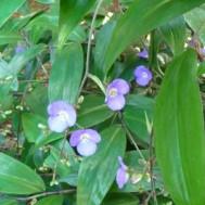 Dichorisandra pendula'Weeping Blue Ginger'