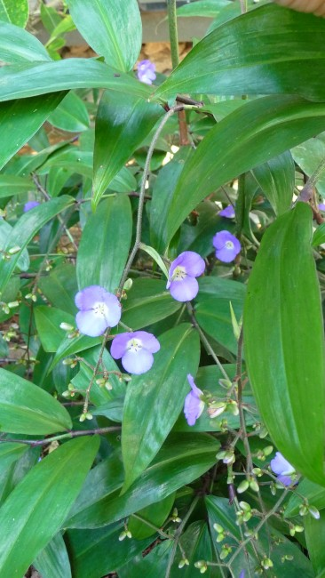 Dichorisandra Weeping Blue Ginger 3g