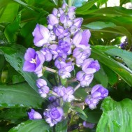 Dichorisandra thrysiflora'Blue Ginger'