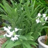 Hedychium coronarium'White Butterfly Ginger'