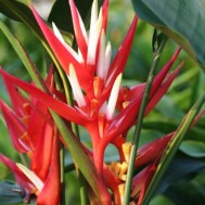Heliconia angusta 'Holiday Christmas'