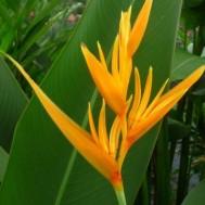 Heliconia psittacorum 'Golden Torch'