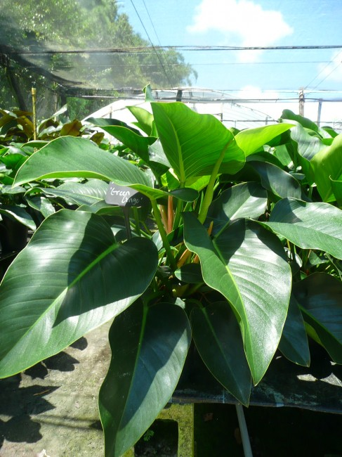Philodendron Green Congo 3g (2)