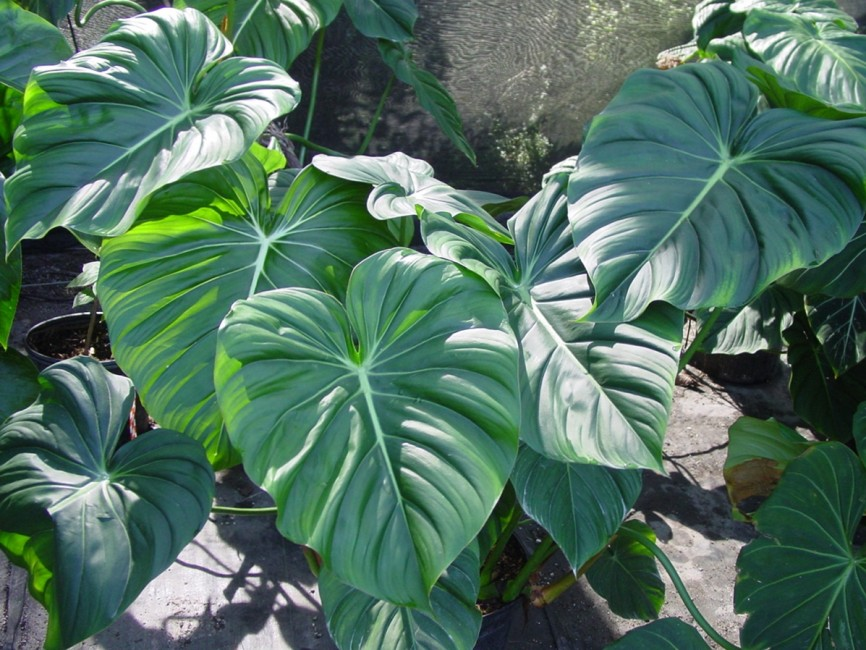 Philodendron McDowell 7G