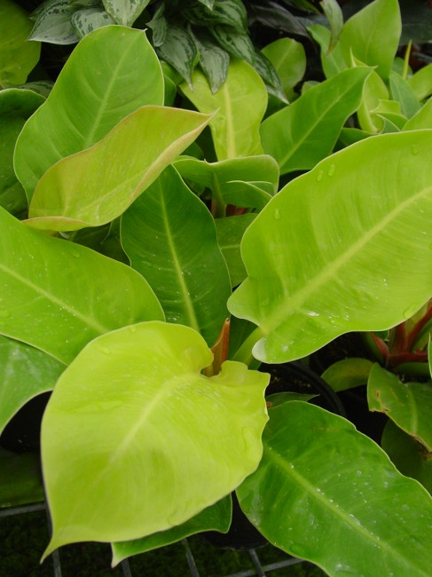 Philodendron Moonlight (3)