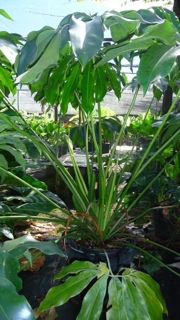 Philodendron goeldii (1)