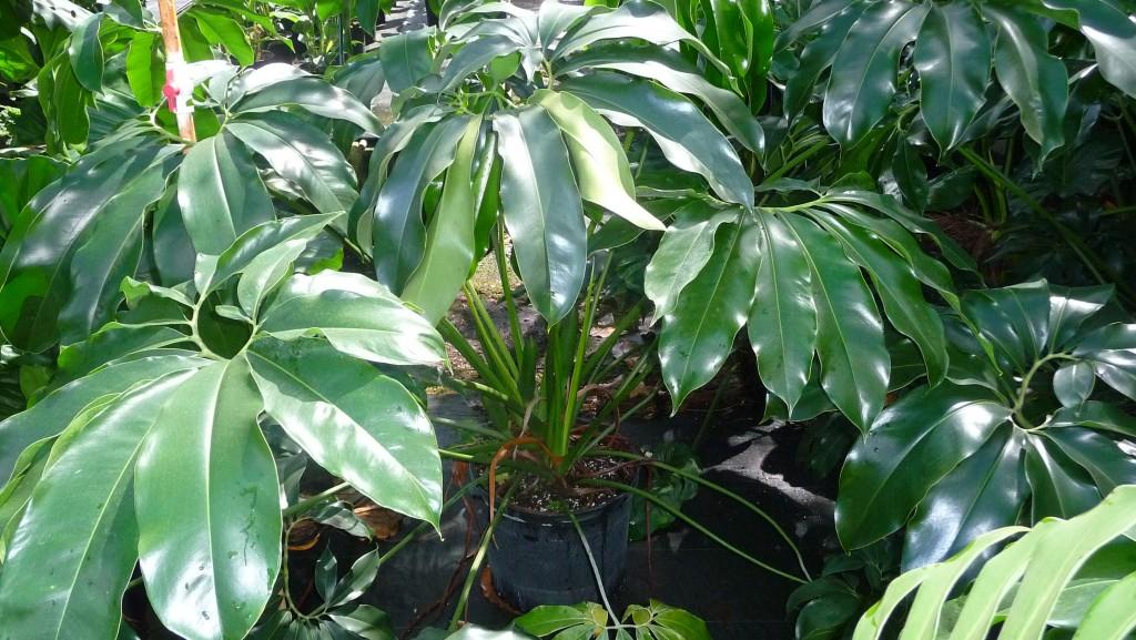 Philodendron goeldii (2)