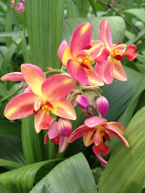 Beautiful home gardens - Spathoglottis Tropical Punch