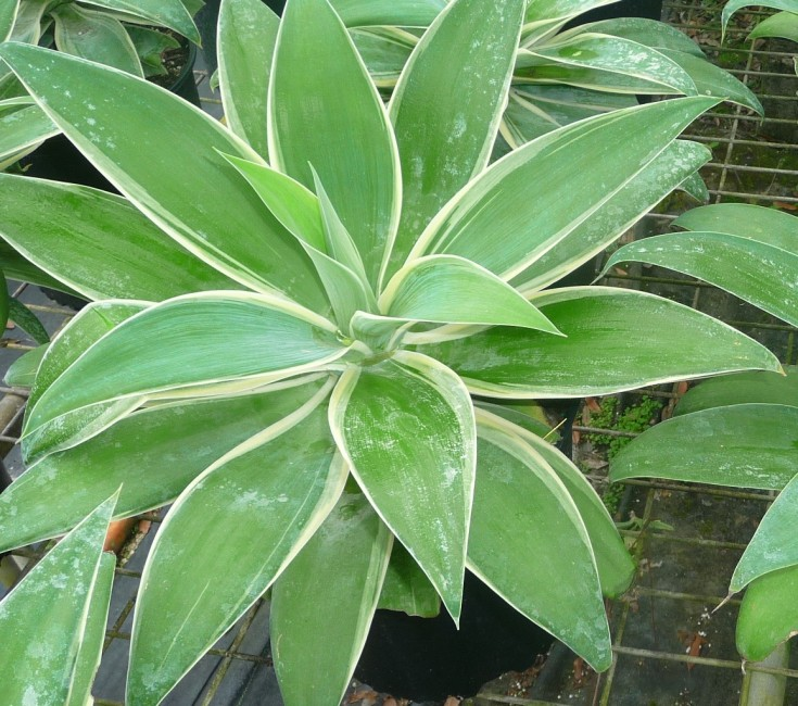 Agave attenuatta 'Ray of Light'