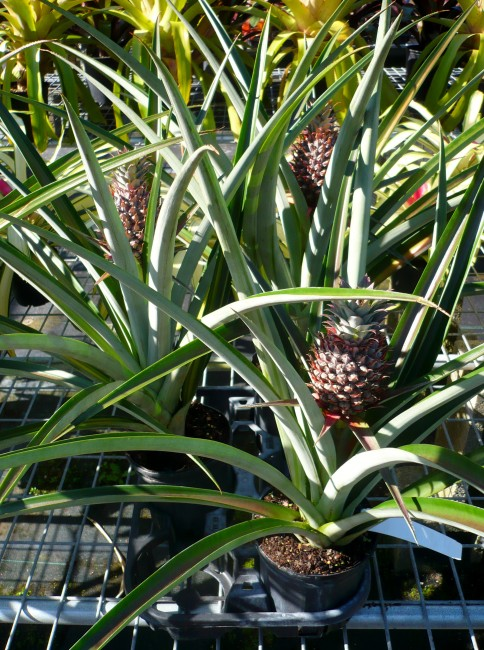 Ananas comosus 'Edible Pineapple' (1)