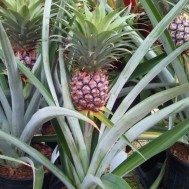 Ananas comosus 'Edible Pineapple'