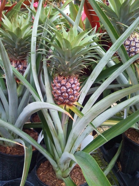 Ananas comosus 'Edible Pineapple' (2)