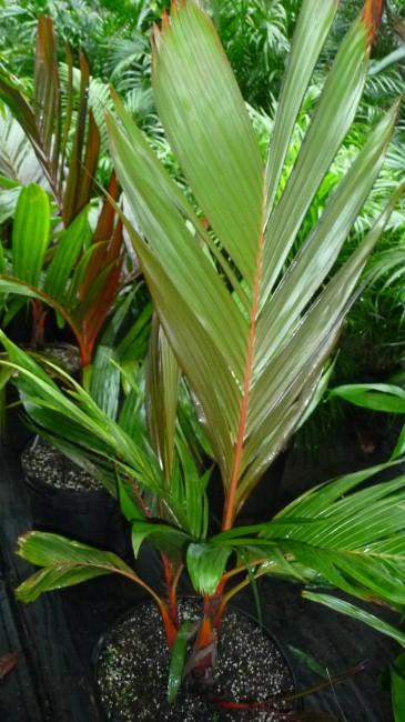 Areca vestiaria 'Red' (1)
