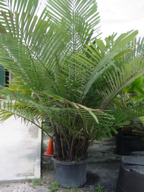 Arenga engleri Dwarf Sugar Palm 25G