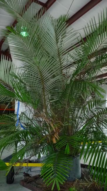 Arenga engleri Dwarf Sugar Palm