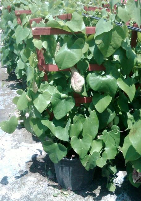 Aristolochia peruviana  'Dutchman's Pipe Vine' (3)