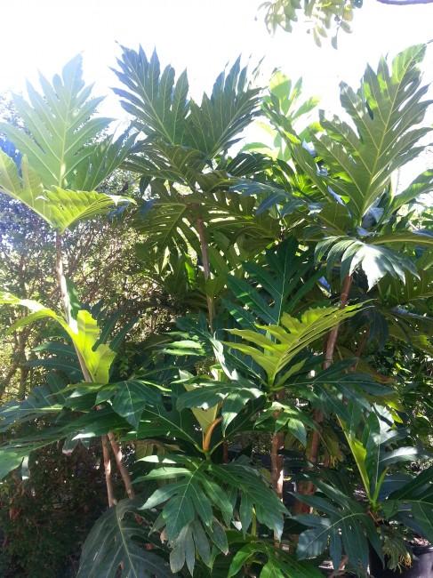 Artocarpus altilis 'Breadfruit' (2)