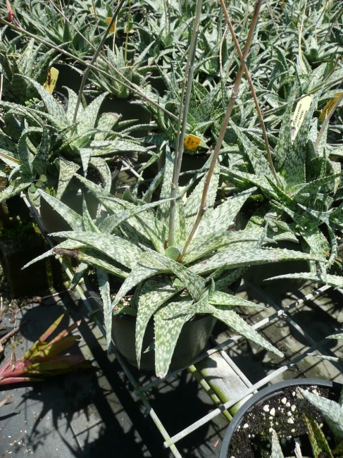 Assorted Aloes (7)