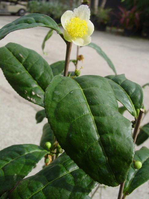 Camellia sinensis 'Tea Plant' (2)