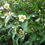 Camellia sinensis 'Tea Plant'