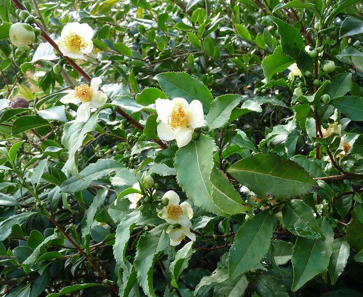 Camellia sinensis 'Tea Plant' (3)