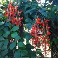 Camptosema grandiflora 'Dwarf Red Jade Vine'