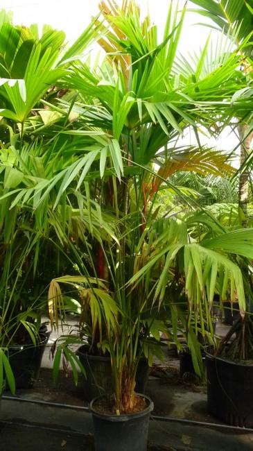 Carludovica palmata 'Panama Hat Palm'  (1)
