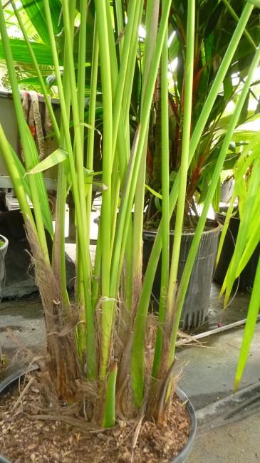Carludovica palmata 'Panama Hat Palm'  (2)