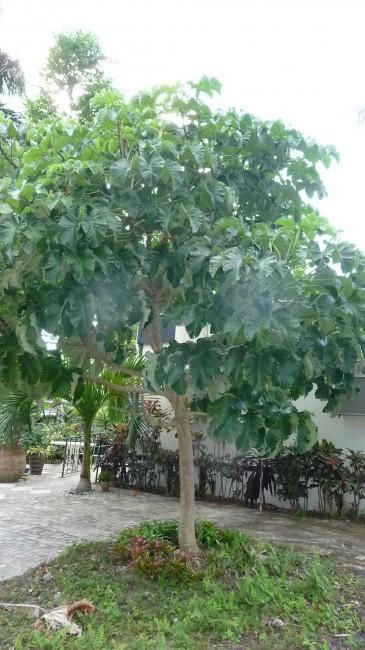 Cecropia peltata 'Tropical Trumpet Tree' NEW
