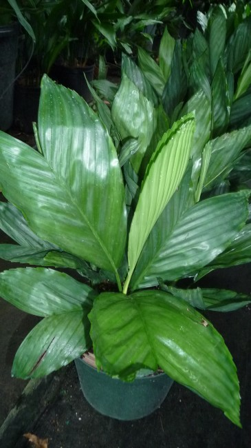 Chamaedorea metallica  (1)