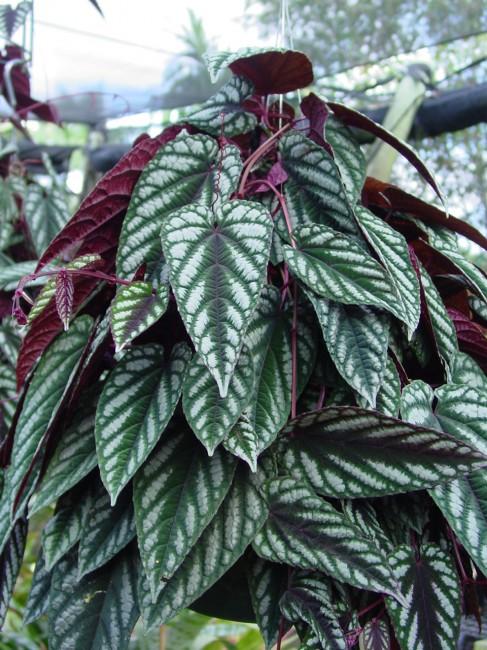 Cissus Discolor Rex Begonia Vine