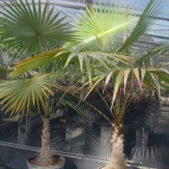 Cocothrinax barbadensis