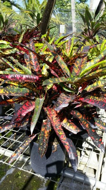 Codiaeum variegatum 'Franklin Roosevelt' (1)