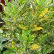 Codiaeum variegatum 'Gold Dust'