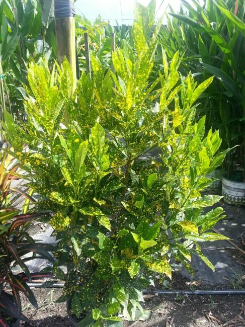 Codiaeum variegatum 'Gold Dust' (2)