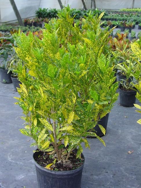 Codiaeum variegatum 'Gold Dust' (3)