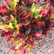 Codiaeum variegatum 'Mammey'