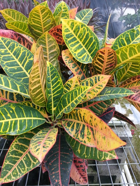 Codiaeum variegatum 'Petra' (3)