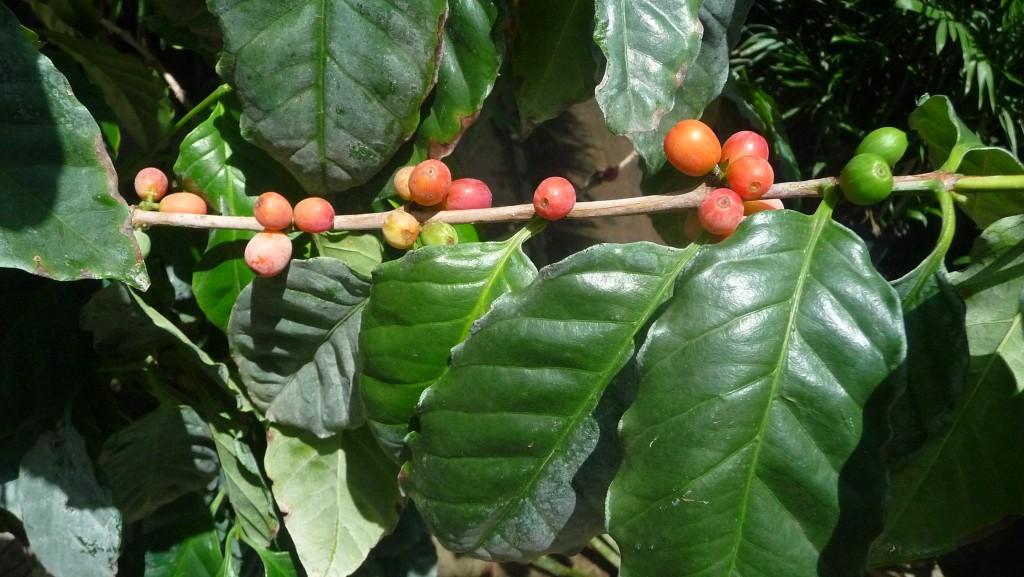 Coffee arabica 7g
